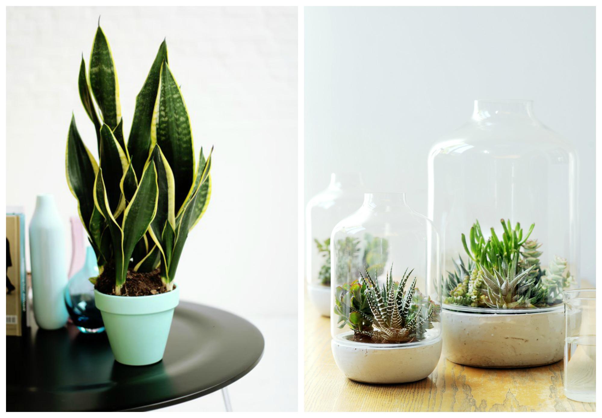 Sanseveria en vetplantjes