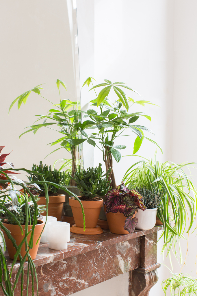 Verzameling vetplantjes, Pachira, graslelie en bladbegonia