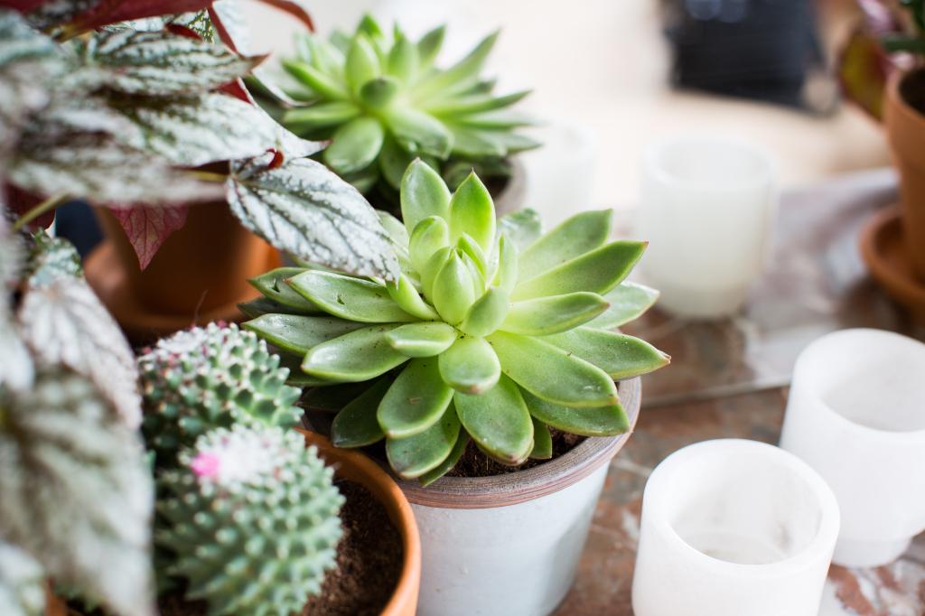 Vetplantjes en cactus