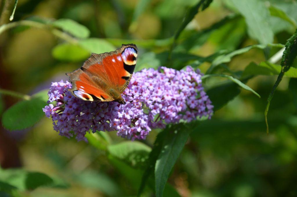 DSC_0082 vlinderstruik Beestige Bucket
