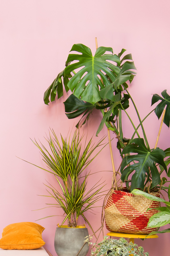 dracaena + monstera