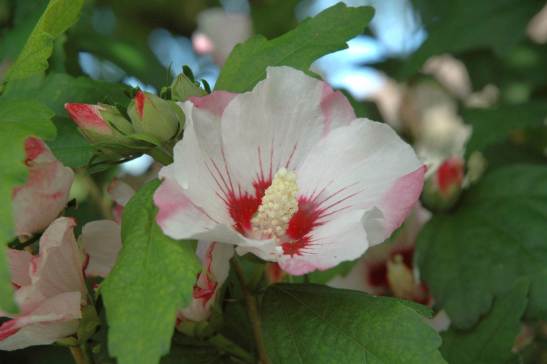 DSC_0069 hibiscus