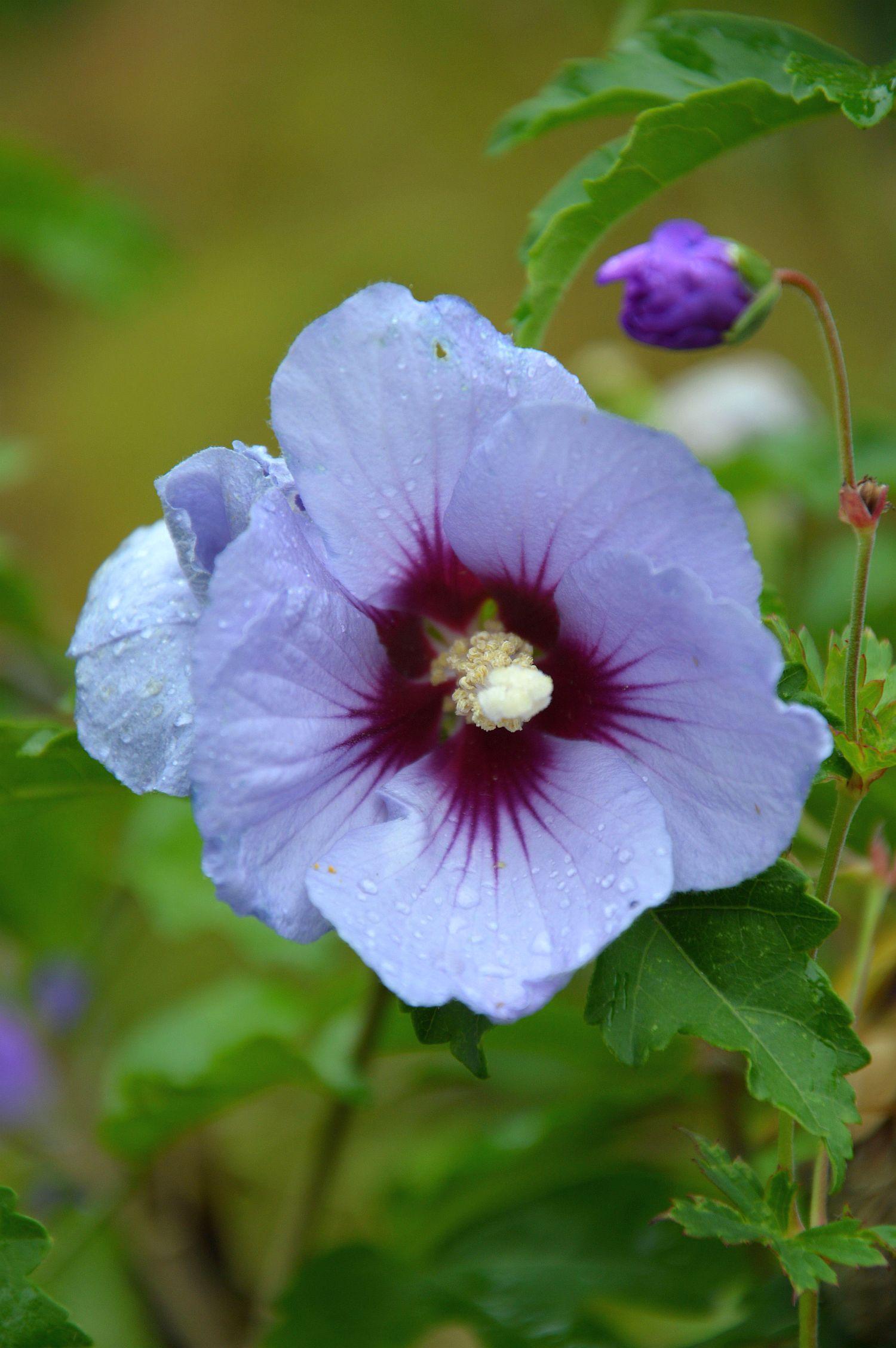 DSC_0177 hibiscus