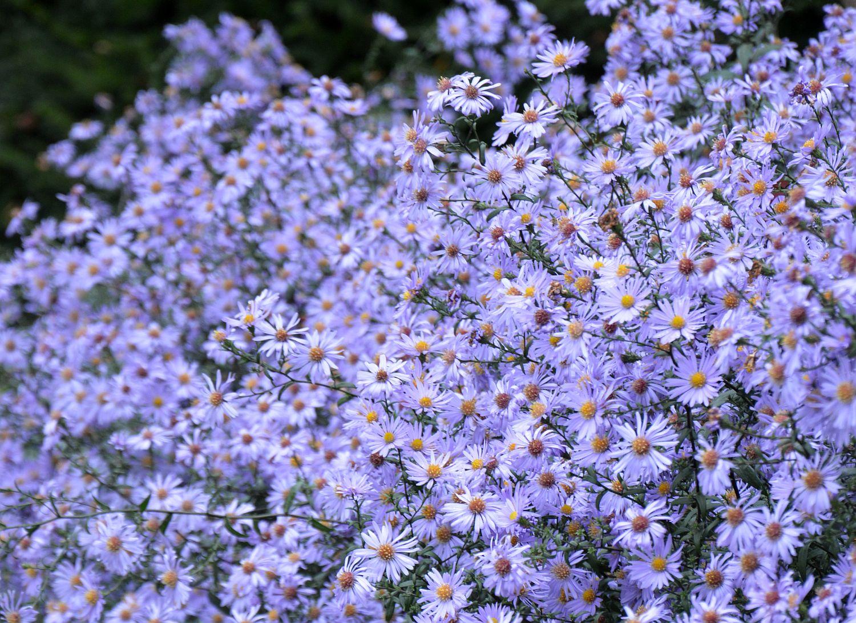 DSC_0270 Aster bloembakken