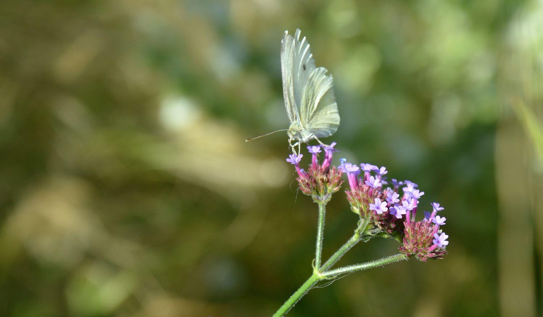 DSC_0481 koolwitje Verbena bonariensis vlinder