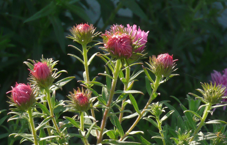 P1090879 aster bloembakken