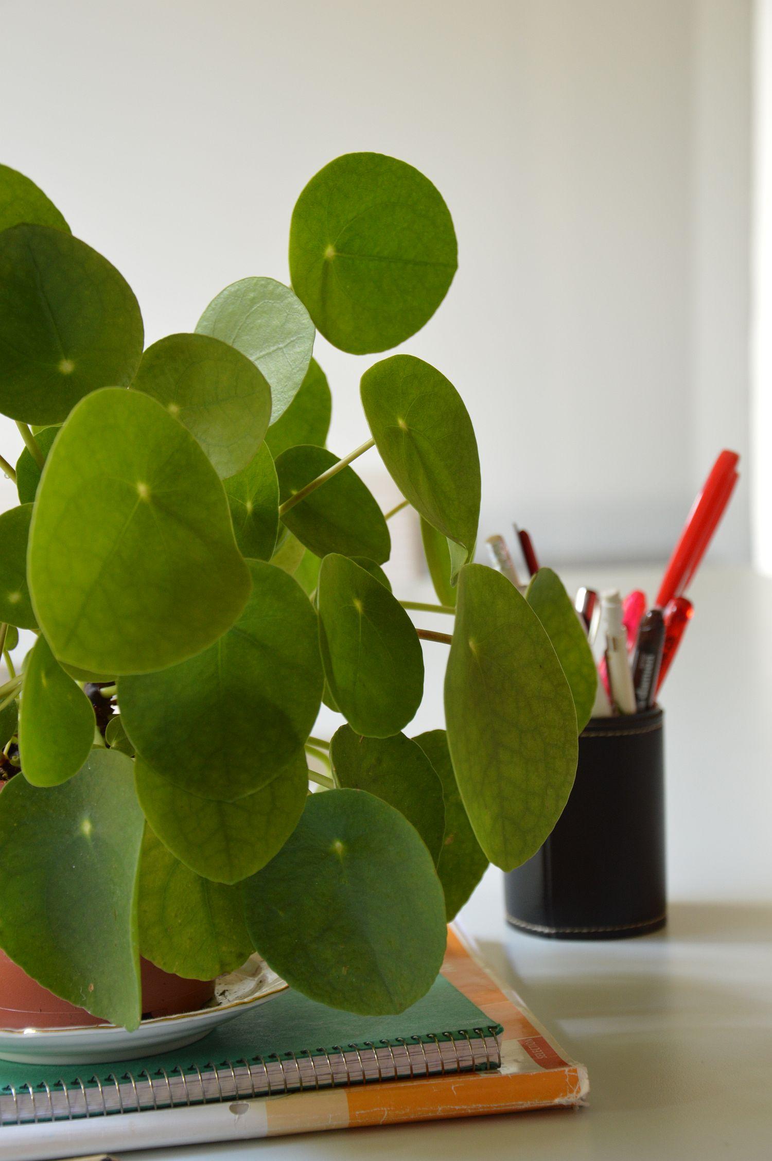 dsc_0721-pannenkoekenplant