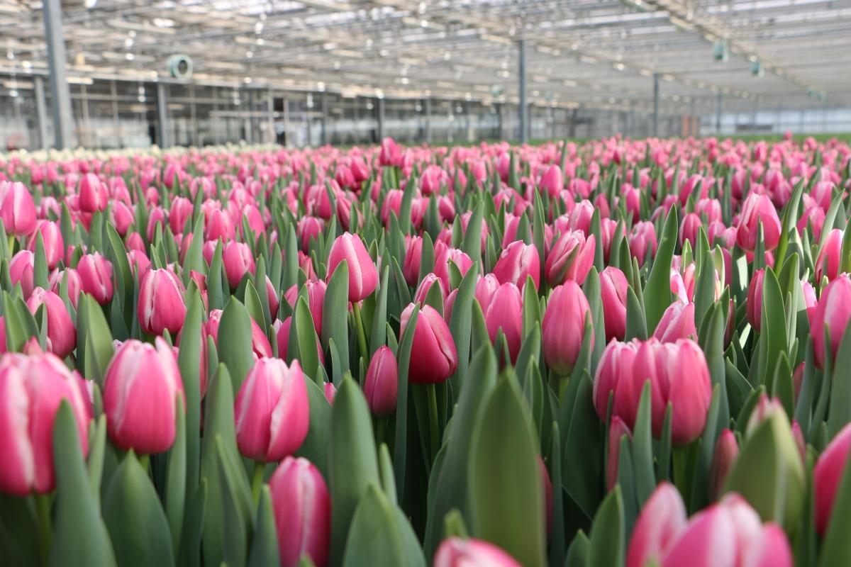 Kom gratis tulpen plukken in Antwerpen