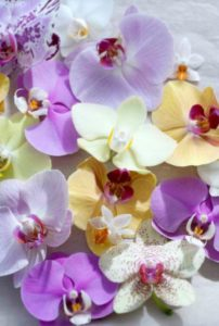 vlinderorchidee